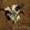 Wood Stork in for a landing Anhinga Trail Everglades National Park  Florida