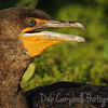 Cormorant Anhinga Trail Everglades National Park  Florida