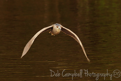 Black Crowned Night Heron in flight Everglades National Park Florida