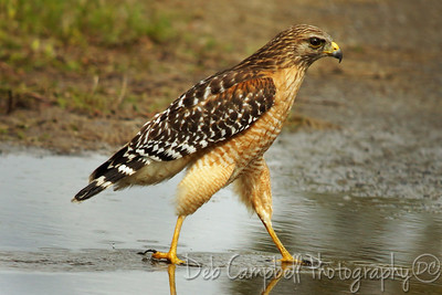 Red Shouldered Hawk Everglades National Park Florida