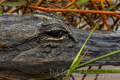 Eye of the Gator Everglades National Park Florida