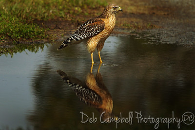 Red Shouldered Hawk Reflections Everglades National Park Florida