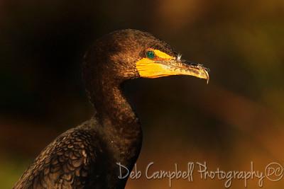 Cormorant Anhinga Trail Everglades National Park  Florida
