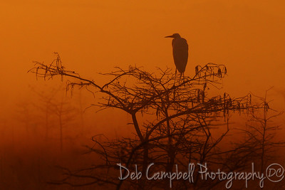 Foggy Sunrise/Great White Egret Everglades National Park Florida