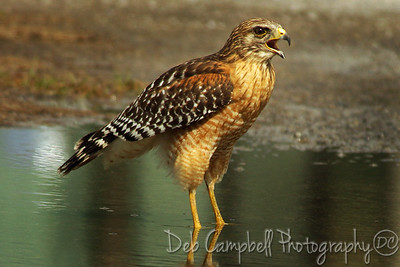 Red Shouldered Hawk calling Everglades National Park Florida
