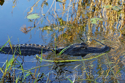 American Alligator Anhinga Trail Everglades National Park Florida