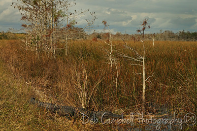 American Alligator in  Everglades National Park Florida
