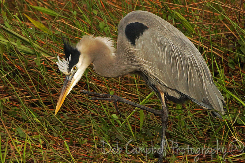 Great Blue Heron with an itch Anhinga Trail Everglades National Park  Florida