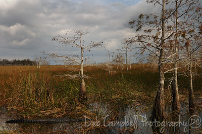 Alligator among the dwarf cypress Everglades National Park Florida