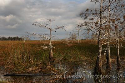 Alligator among the dwarf cypress Everglades National Park Florida