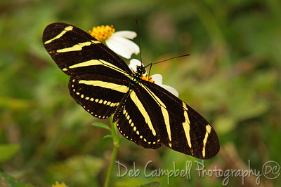 Zebra Longwing Butterfly Everglades National Park Florida