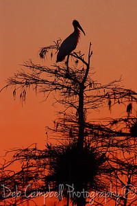 Foggy Sunrise/Woodstork Everglades National Park Florida