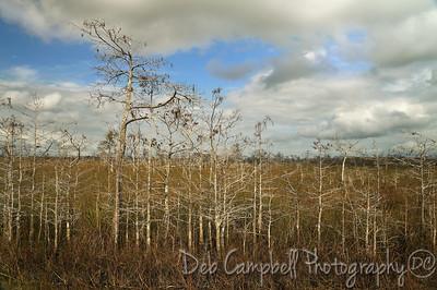 Dwarf Cypress Everglades National Park Florida