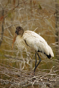 Wood Stork Everglades National Park Florida