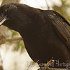 American Crow Everglades National Park Florida