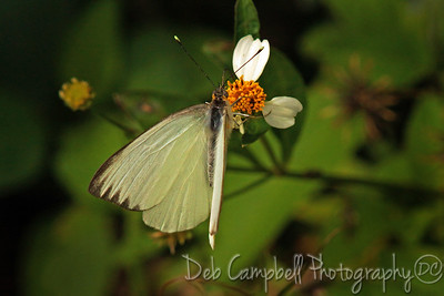 Great Southern White Butterfly Everglades National Park Florida