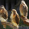 Two Red Tailed Hawks (on left) and one Red Shouldered Hawk (Captive) Ellie Schiller Homosassa Springs Wildlife Park Homosassa Springs, Florida