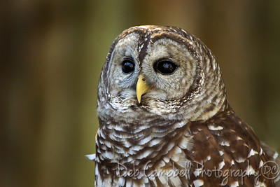 Barred Owl (Captive)