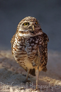 Burrowing Owl (Captive)