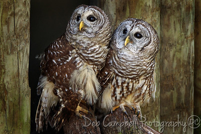 A pair of Barred Owls (Captive)