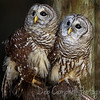 A pair of Barred Owls (Captive) Ellie Schiller Homosassa Springs Wildlife Park Homosassa Springs, Florida