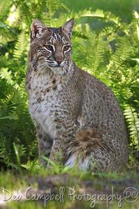 Bobcat (Captive)