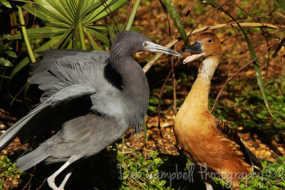 Little Blue Heron and Duck having a squabble   Ellie Schiller Homosassa Springs Wildlife Park Homosassa Springs, Florida