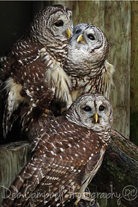 Three Barred Owls (Captive)