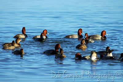 Group of Redhead ducks Honeymoon Island State Park Dunedin, Florida