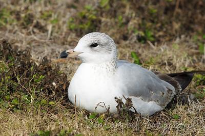 Herring Gull Honeymoon Island State Park Dunedin, Florida