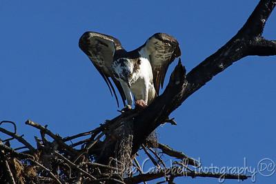 Osprey Honeymoon Island State Park Dunedin, Florida