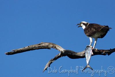 Osprey with fish Honeymoon Island State Park Dunedin, Florida