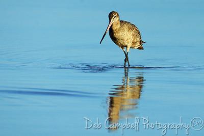 Marbled Godwit Honeymoon Island State Park Dunedin, Florida