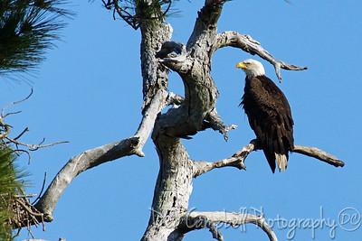 American Bald Eagle sitting near nest Honeymoon Island State Park Dunedin, Florida
