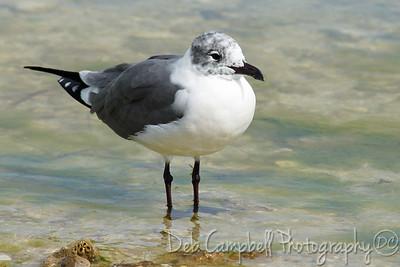 Laughing Gull (adult non breeding) Honeymoon Island State Park Dunedin, Florida
