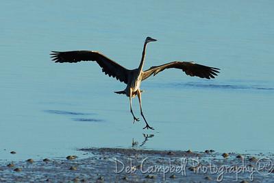 Great Blue Heron dancing in the surf