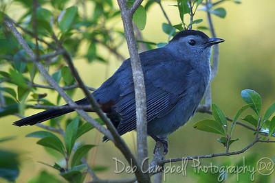 Gray Catbird Honeymoon Island State Park Dunedin, Florida