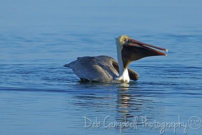 Brown Pelican with lunch Honeymoon Island State Park Dunedin, Florida