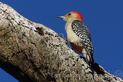 Red Bellied Woodpecker Honeymoon Island State Park Dunedin, Florida