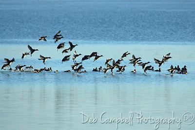 Flock of Redhead ducks Honeymoon Island State Park Dunedin, Florida