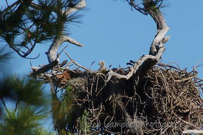 American Bald Eagle chick Honeymoon Island State Park Dunedin, Florida