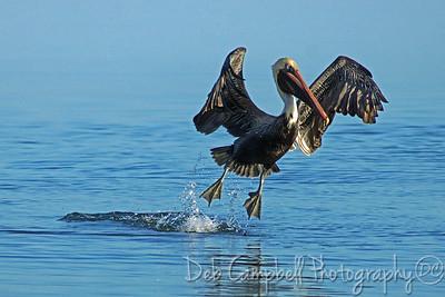 Brown Pelican  Honeymoon Island State Park Dunedin, Florida