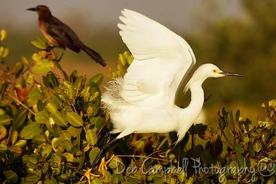 Snowy Egret Bio-Lab Road Merritt Island Wildlife Refuge Titusville, Florida