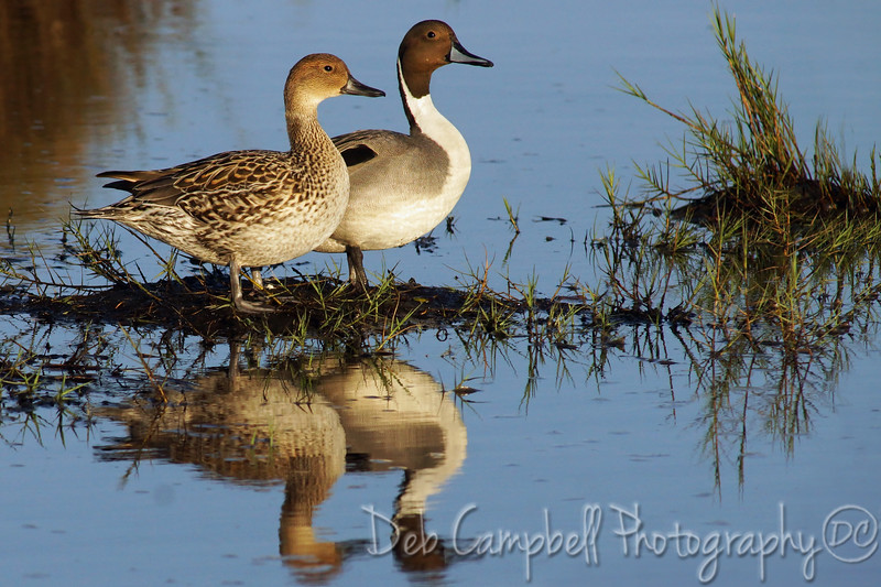 Northern Pintail Ducks. Male and Female Merritt Island Wildlife Refuge Titusville, Florida