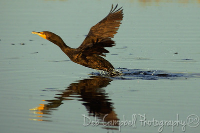 Cormorant taking off Bio-Lab Road Merritt Island Wildlife Refuge Titusville, Florida
