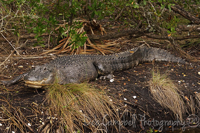American Alligator Bio-Lab Road Merritt Island Wildlife Refuge Titusville, Florida