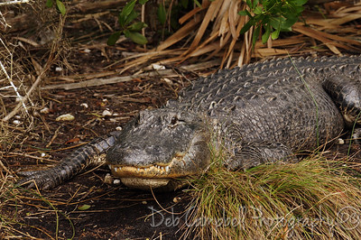 Big American Alligator Bio-Lab Road Merritt Island Wildlife Refuge Titusville, Florida