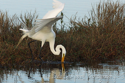Great White Egret Fishing Black Point Wildlife Drive Merritt Island Wildlife Refuge Titusville, Florida