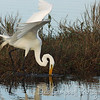 Great White Egret Fishing Merritt Island Wildlife Refuge Titusville, Florida