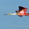 Roseate Spoonbill in flight Bio-Lab Road Canavaral National Seashore Titusville, Florida